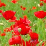 """""""Hillside Flower Meadow Landscape Poppies"""" by BasleeTroutman"""