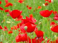 Hillside Flower Meadow Landscape Poppies