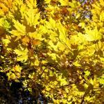 """yellow platan leaves"" by VivianGerogianni"