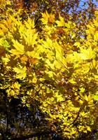 yellow platan leaves