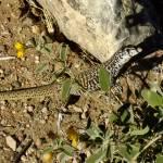 """Unknown lizard"" by awsheffield"