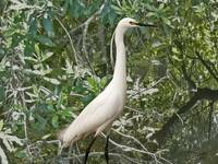Egret in Mangroves