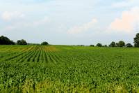Corn Field with Corn Growing