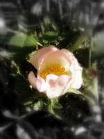 old fashioned roses by Fox Creek, Columbia River 1