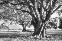 Two trees in monochrome