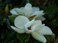 Magnolia Fragrance