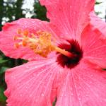 """FUSCIA HIBISCUS"" by lounis18"
