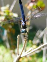 BEAUTIFUL BLUE VISITOR