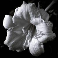 Day Lily In Black And White ll