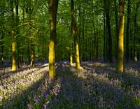 Bluebell Wood Chilterns UK