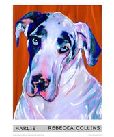 Harlie The Great Dane