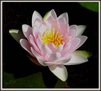 Water Lily Collection ~ 2 N. Fabiola