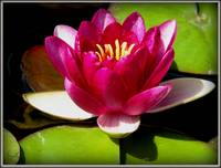 Water Lily Collection 5 ~ N. Charles de Meurville