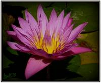Water Lily Collection 6 ~ Nymphaea 'Panama Pacific
