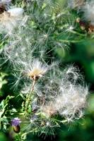 Creeping Thistle, Seeds (20279-RDA)