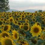 """""""sunflowers"""" by gordonpi"""