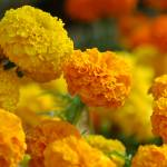 """Marigold"" by sureshgundappa"