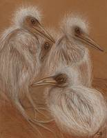 Chicks of Great White Heron