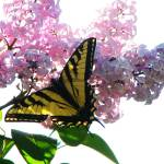 """""""Swallowtail Butterfly ... IMG_2496"""" by garytrentPHOTOGRAPHYcdn"""