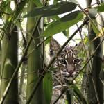 """""""Lynx Rufus Floridanus"""" by spadecaller"""