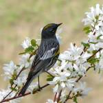 """""""Yellow-rumped Warbler ... IMG_8885"""" by garytrentPHOTOGRAPHYcdn"""