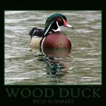 """Wood Duck Poster-Print"" by rsummers"