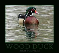 Wood Duck Poster-Print