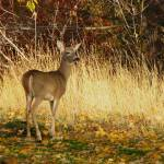 """""""White-tail Deer ... IMG_0188"""" by garytrentPHOTOGRAPHYcdn"""