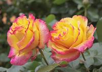 colorful spring roses in full bloom