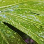 """rain drops on large leaf plant"" by nathangriffith"