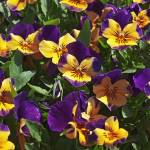 """patch of purple and yellow pansies"" by nathangriffith"