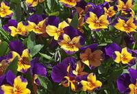 patch of purple and yellow pansies