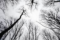 stand of leafless trees in silhoutte