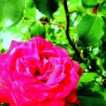 """""""ROSE GARDEN I NEVER PROMISED YOU A ROSE GARDEN I N"""" by bemusedshop"""