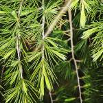 """needles and branches on pine tree"" by nathangriffith"