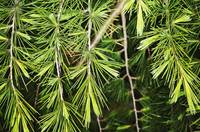 needles and branches on pine tree