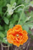 macro image of orange Shirley poppy in bloom
