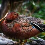 """Cinnamon Teal Duck"" by johncorney"
