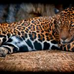 """Jaguar"" by johncorney"