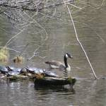 """Turtles and Goose"" by CarmenL"