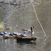 Turtles and Goose