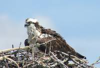 Florida Osprey On Her Nest