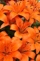 Bright Orange Lilies