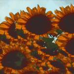 """Sunflowers"" by artfolio"