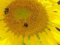 Bees Visit to Sunflower