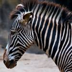 """Zebra No 2"" by johncorney"