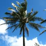 """Coconut Palm"" by dgowre"
