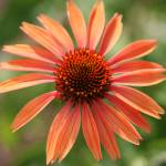 """Orange Coneflower sq"" by DonnaCorless"
