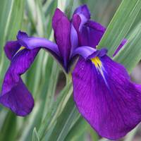 Purple Iris sq