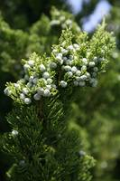 Evergreen Tree with Berries 2